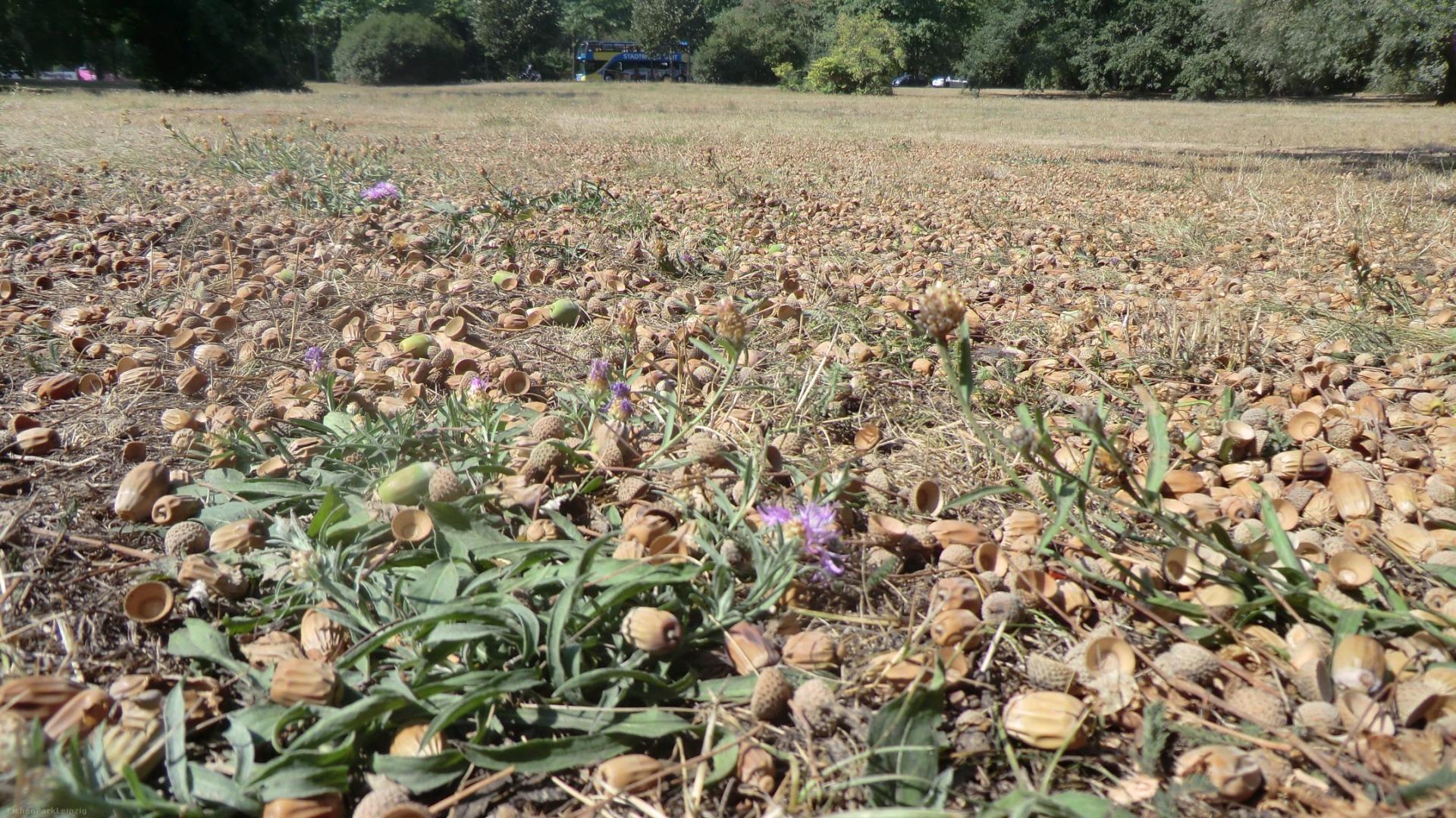 Vertrocknete Wiese mit Eicheln im Leipziger Park